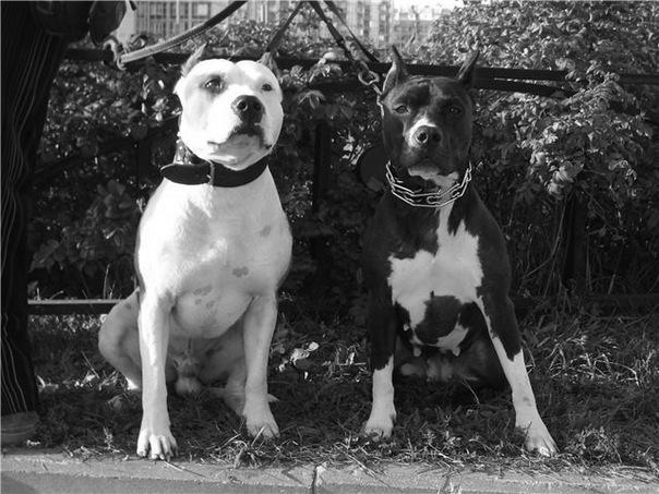 Породы собак.  Фото Американский питбультерьер.